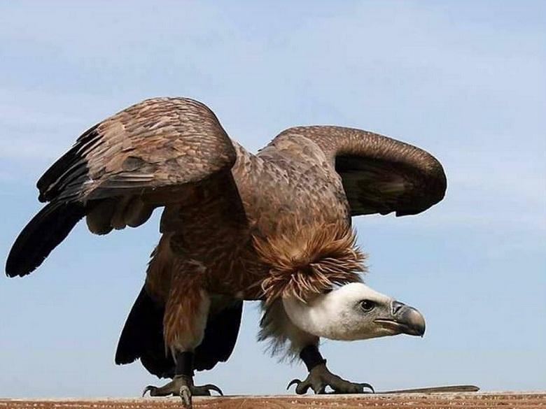 abutre-2