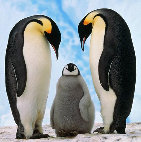 Gay Pinguins Homofobia
